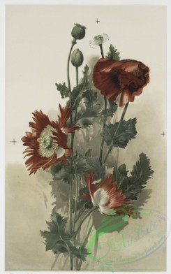 prang_cards_botanicals-00140 - 0754-Poppies 107565