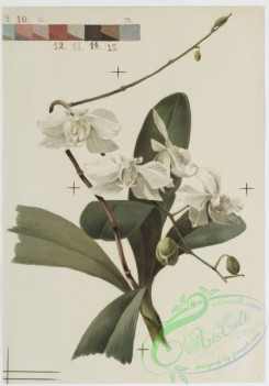 prang_cards_botanicals-00146 - 0773-Orchids 107642