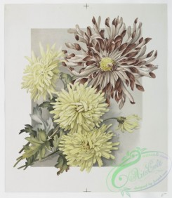 prang_cards_botanicals-00209 - 0946-(The golden flower-prints depicting flowers.) 108343