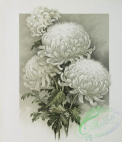 prang_cards_botanicals-00213 - 0948-The golden flower-prints depicting white flowers 108347