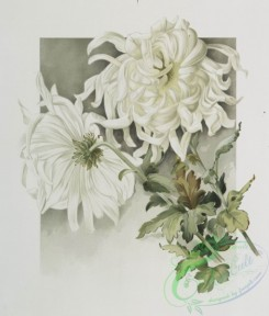 prang_cards_botanicals-00214 - 0949-The golden flower-prints depicting white flowers 108348