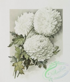 prang_cards_botanicals-00215 - 0949-The golden flower-prints depicting white flowers 108349