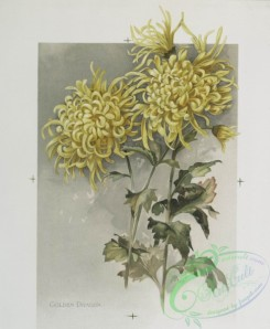 prang_cards_botanicals-00219 - 0954-The golden flower-prints depicting yellow flowers, with the words 'golden dragon' and 'jardin de plantes.' 108368