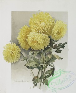 prang_cards_botanicals-00220 - 0954-The golden flower-prints depicting yellow flowers, with the words 'golden dragon' and 'jardin de plantes.' 108369