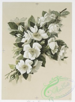 prang_cards_botanicals-00221 - 0982-Cherokee Roses, White Roses. (Easter and Christmas cards depicting flowers.) 108503