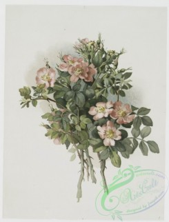 prang_cards_botanicals-00226 - 1022-Sweet brier roses 100092