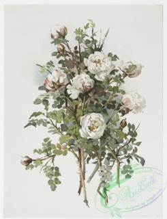 prang_cards_botanicals-00227 - 1024-White scotch rose 100095