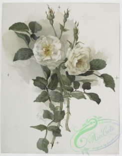 prang_cards_botanicals-00230 - 1027-Two Christmas prints entitled 'white rose 2' and 'yellow scotch rose.' 100098