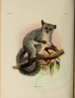 primates-00027 - Silvery greater galago [2490x3252]
