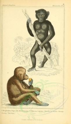 primates-00255 - Black Orang-outang, Red or Asiatic Orang-outang [1826x3199]