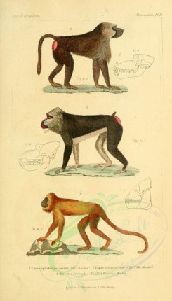 primates-00256 - Chacma, Mandrill, Red Howling Monkey [1826x3199]