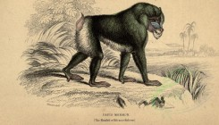 primates_best-00023 - Mandril or Rib-nose Baboon [2816x1614]