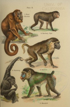 primates_best-00025 - Red Howler, Barbary Ape, Siamang, Baboon, Mandrill [2528x3832]