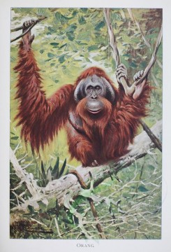 primates_best-00033 - ORANG-OUTANG [2550x3750]