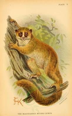 primates_best-00042 - Black-eared Mouse-lemur [2127x3405]