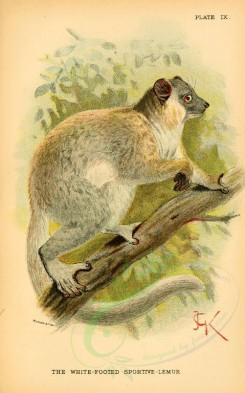 primates_best-00058 - White-Footed Sportive-Lemur [2127x3405]