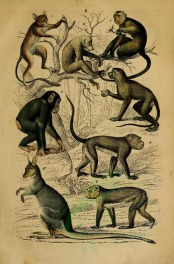 primates_best-00064 - Common chimpanzee, Barbary Ape, Guinea or sphinx baboon, Crab-eating macaque, White-headed capuchin, Red slender loris, Spectral tarsier [2102x3198]