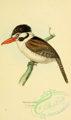 puffbirds-00007 - White-eared Puff-bird