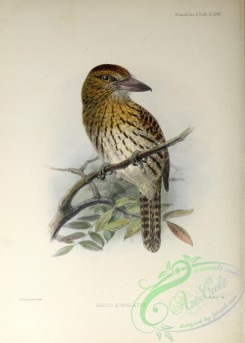 puffbirds-00022 - Striolated Puffbird