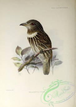 puffbirds-00025 - White-chested Puffbird
