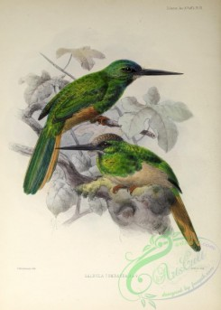 puffbirds-00026 - White-chinned Jacamar