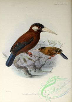puffbirds-00027 - White-eared Jacamar