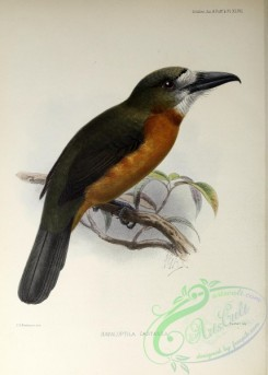 puffbirds-00029 - White-faced Nunbird