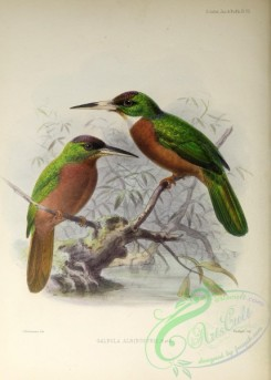 puffbirds-00032 - Yellow-billed Jacamar