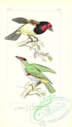 puffbirds-00054 - Black-collared Barbet, bucco torquatus