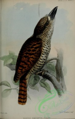 puffbirds-00060 - Barred Puffbird, bucco radiatus