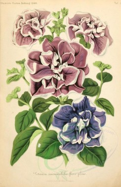 purple_flowers-00001 - petunia inimitabilis [1931x2992]
