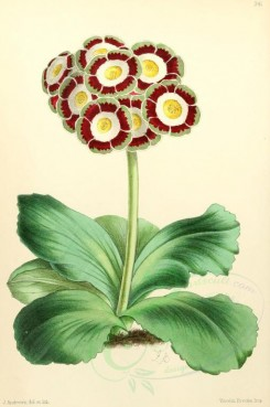 purple_flowers-00002 - Auricula Peter Campbell [1795x2703]