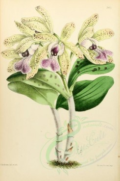 purple_flowers-00003 - Cattleya Brabantise [1933x2909]
