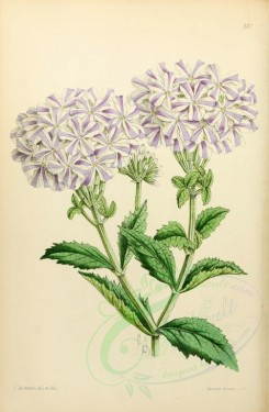 purple_flowers-00004 - Verbena Lady of Langlebury [1927x2945]