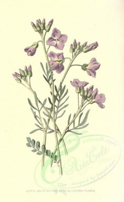 purple_flowers-00010 - Lady's Smock or Bittercress or Cuckoo Flower [1698x2766]