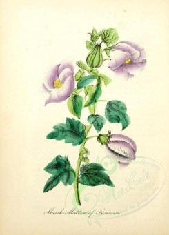 purple_flowers-00017 - Marsh-Mallow of Surinam [1905x2650]