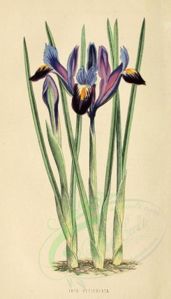 purple_flowers-00020 - iris reticulata [1760x3069]