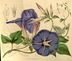 purple_flowers-00024 - 3928-pharbitis learii, Mr Lear's Gaybine [3996x3410]