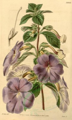 purple_flowers-00025 - 3980-achimenes longiflora, Long-flowered Achimenes [1996x3314]