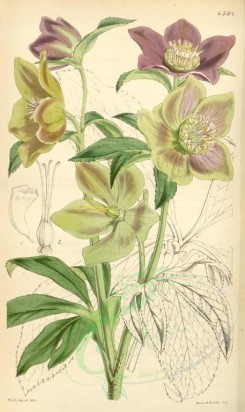 purple_flowers-00028 - 4581-helleborus atro-rubens, Dark-purple-flowered Hellebore [2069x3472]