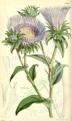 purple_flowers-00035 - 4966-stokesia cyanea, Cyaneous Stokesia [2086x3516]