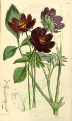 purple_flowers-00040 - 5227-cosmos diversifolius atro-sanguineus, Various-leaved Cosmos deep blood-flowered variety [2078x3493]