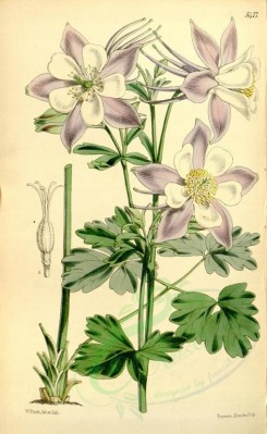 purple_flowers-00044 - 5477-aquilegia caerulea, Long-spurred Californian Columbine [2162x3514]