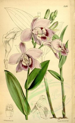 purple_flowers-00045 - 5485-epistephium williamsii, Mr Williams's Epistephium [2162x3514]
