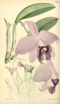 purple_flowers-00046 - 5498-laelia praestans, Admirable Lealia [2056x3549]