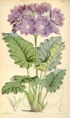 purple_flowers-00047 - 5528-primula cortusoides amoena, Cortusa-leaved Primrose deep-coloured variety [2034x3424]