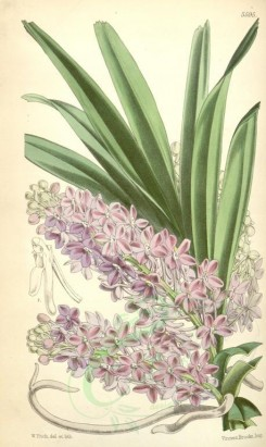 purple_flowers-00052 - 5595-saccolabium ampullaceum, Bottle-lipped Saccolabium [2081x3488]