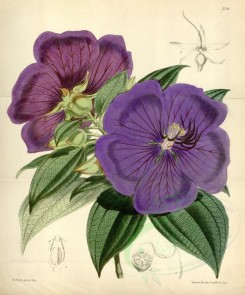 purple_flowers-00057 - 5721-pleroma macranthum, Large-flowered Pleroma [3613x4343]