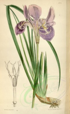 purple_flowers-00061 - 5773-iris stylosa, Long-styled Iris [2195x3529]