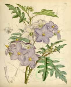 purple_flowers-00097 - 6283-solanum acanthodes [3644x4440]